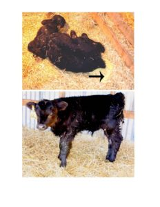 One of the first calves treated with Sx Calf for scours.